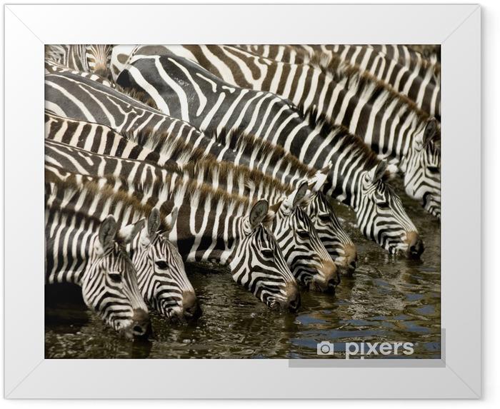 Plakat w ramie Stada zebr w Masai Mara Kenii - Tematy