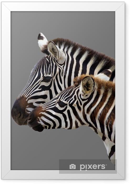 Plakat w ramie Młoda zebra i jego matka. Samodzielnie na szarym tle - Tematy