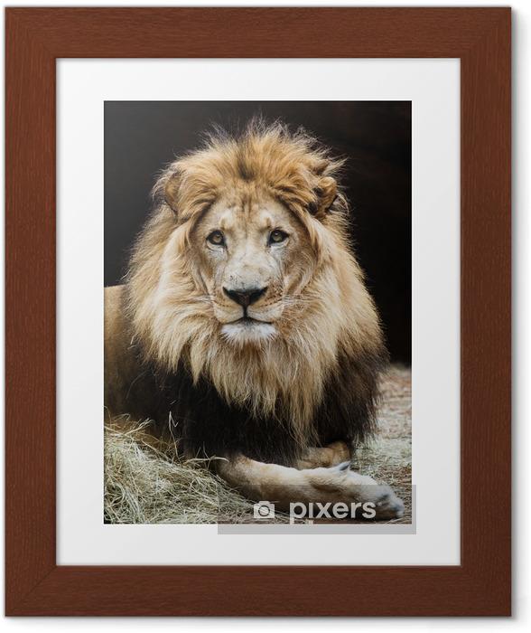 Plakat w ramie Portret płci męskiej lwa afrykańskiego - Tematy