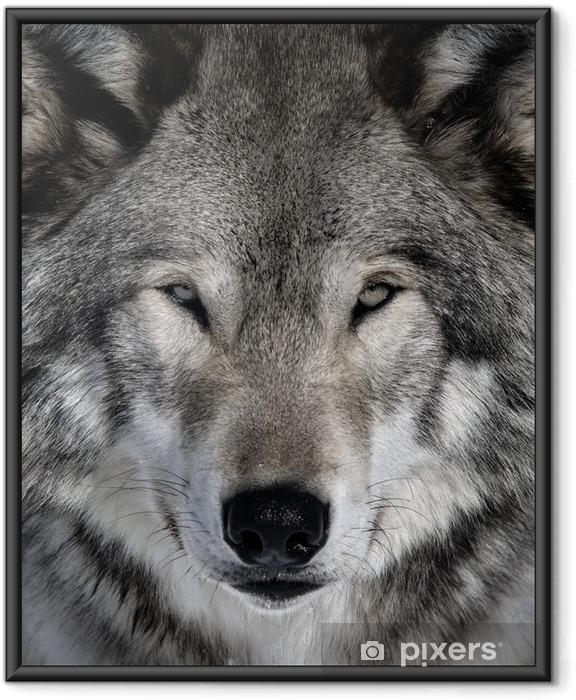 Poster in Cornice Lupo grigio -
