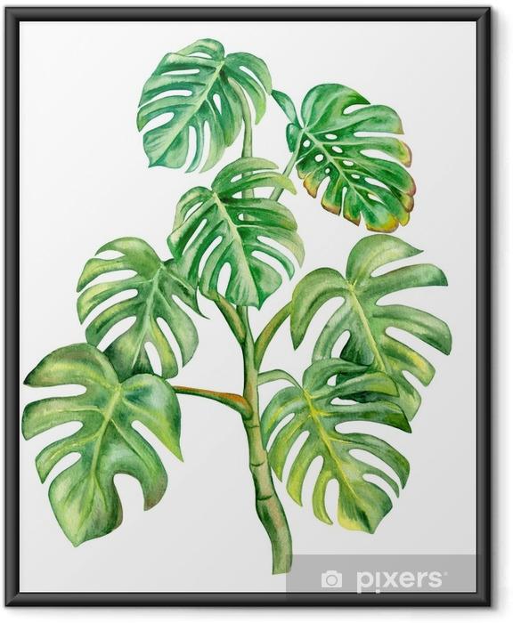 Plakat w ramie Zielony liść monstera na białym tle. ręcznie malowane akwarela ilustracji. realistyczna sztuka botaniczna. szablon - Rośliny i kwiaty