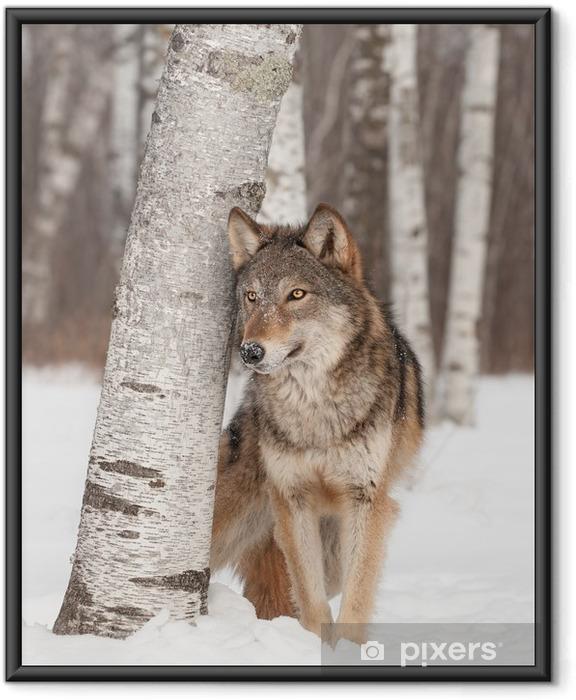Ingelijste Poster Grijze Wolf (Canis lupus) staat naast Birch Tree - Thema's