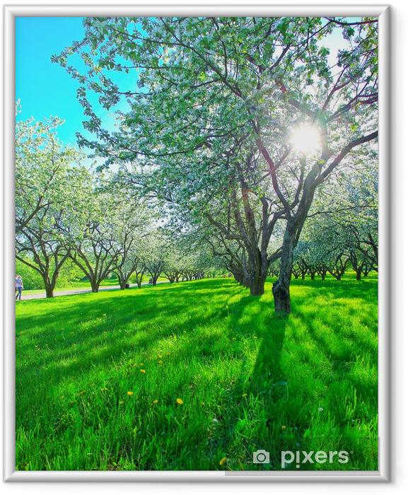 Plakat w ramie Piękne kwitnące jabłonie w parku wiosną - Jabłonie
