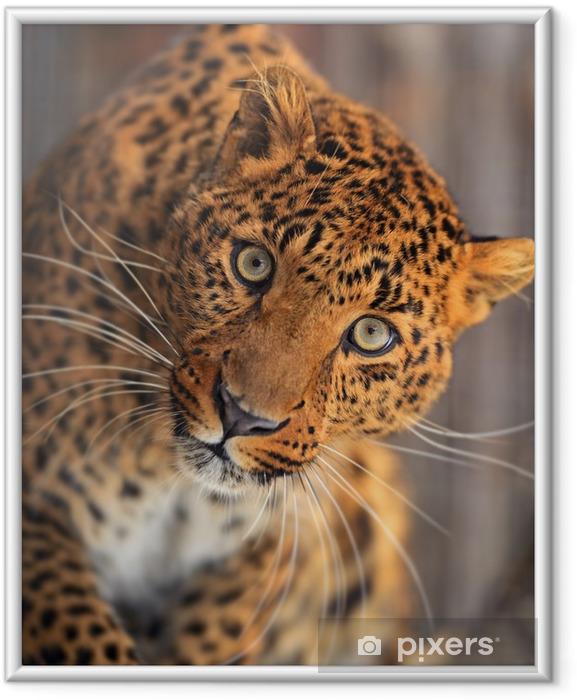 Ingelijste Poster Leopard - Zoogdieren