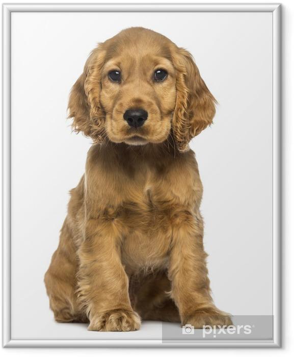 Ingelijste Poster Cocker puppy zitten, kijken naar de camera, geïsoleerd op wit - Zoogdieren