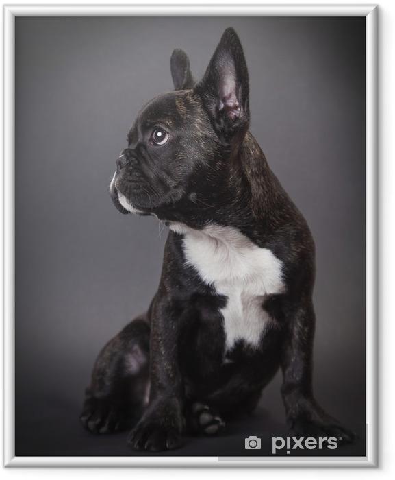 Plakat w ramie Pies pppy buldog francuski - Buldogi francuskie