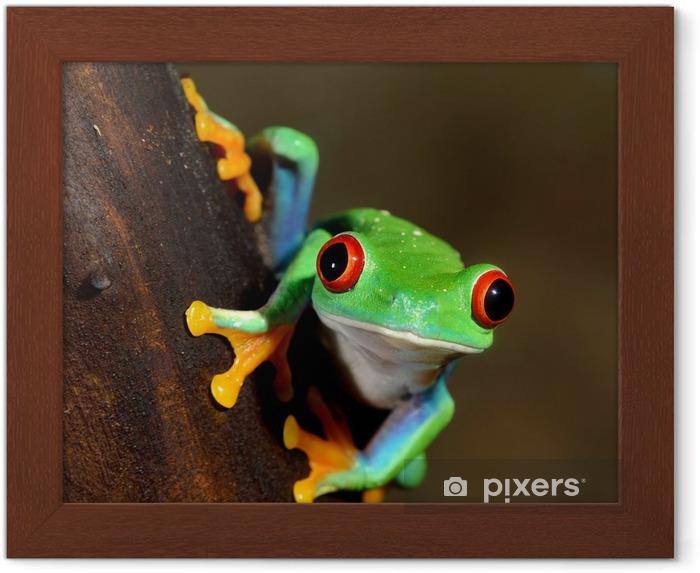 Plakat w ramie Czerwonych oczu żaba Agalychnis callidryas w terrarium - Żaby
