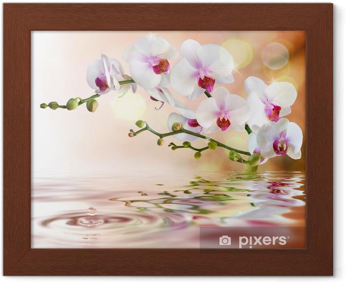Plakat w ramie Biały orchidee na wody z kropli -