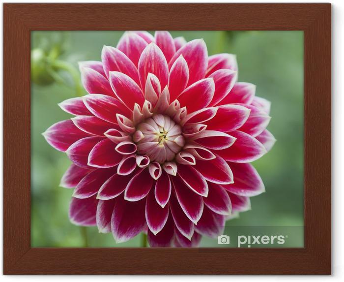 Kırmızı Dahlia Tek çiçek çerçeveli Poster Pixers Haydi