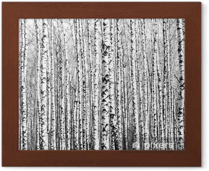 Póster Enmarcado Troncos de primavera de los árboles de abedul blanco y negro - Estilos