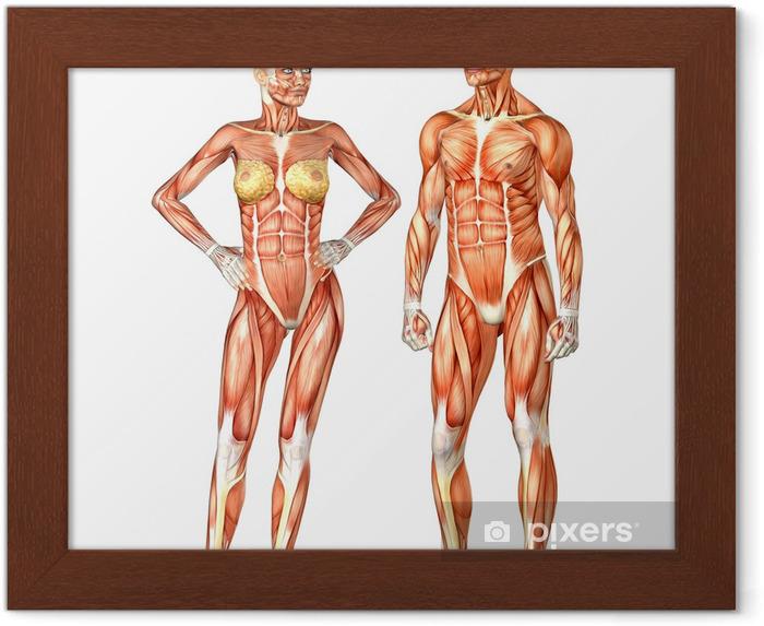 Anatomie Corps Humain Femme image encadrée anatomie du corps humain - homme et femme • pixers