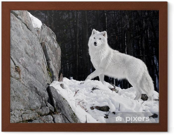 Plakat w ramie Arctic Wolf Portret - Tematy