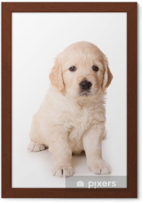 Beyaz Zemin üzerine Golden Retriever Yavrusu çerçeveli Poster