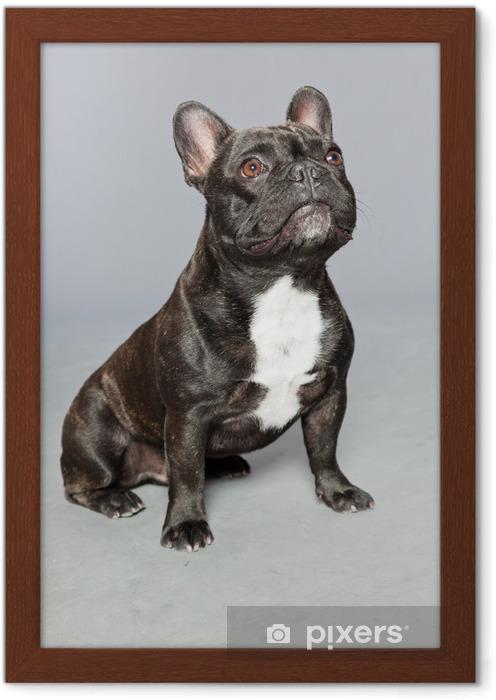 Plakát v rámu Black francouzský buldoček. Bílá na hrudi. Funny pes. - Francouzští Buldočci