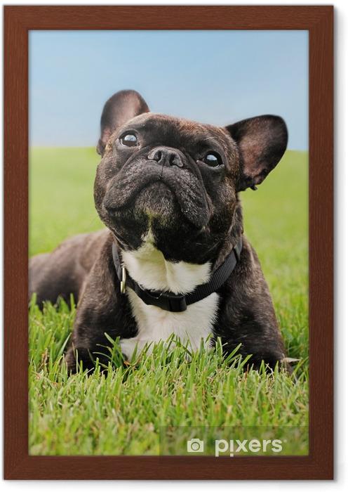 Plakat w ramie Buldog francuski niosek na trawie - Mopsy