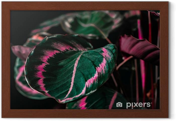 Ingelijste Poster Botanische calathea plant met groene en roze bladeren, op zwart - Bloemen en Planten