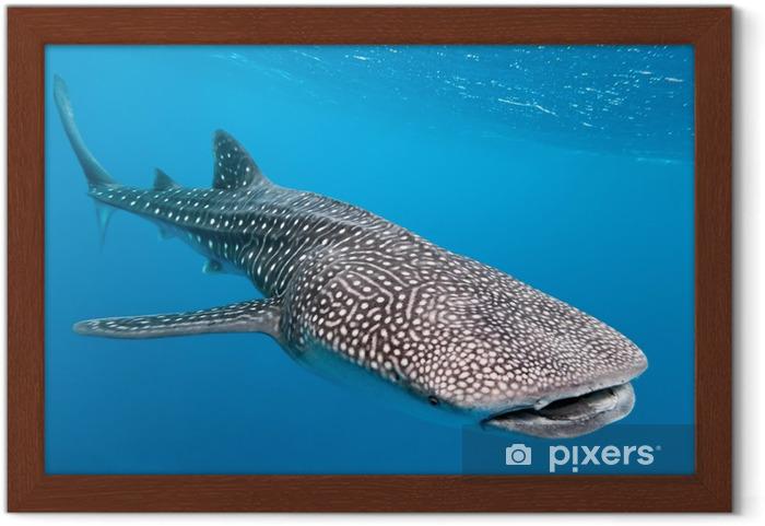 Çerçeveli Poster Balina köpekbalığı - Köpekbalıkları