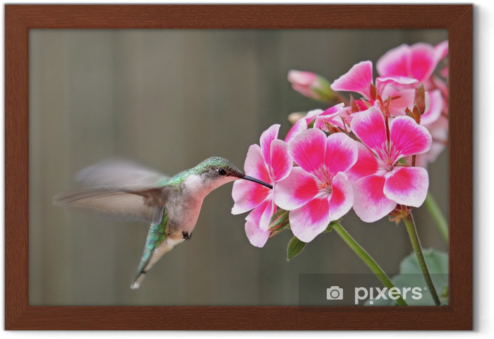 Ingelijste Poster Ruby-throated Hummingbird en Bloem - Vogels