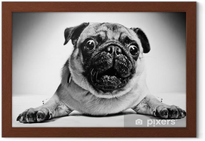 Plakat w ramie Czarno-biały portret pug - Mopsy