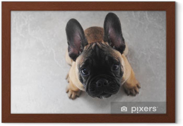Póster Enmarcado Cachorro de perro francés Bouledogue - Bulldogos francéses