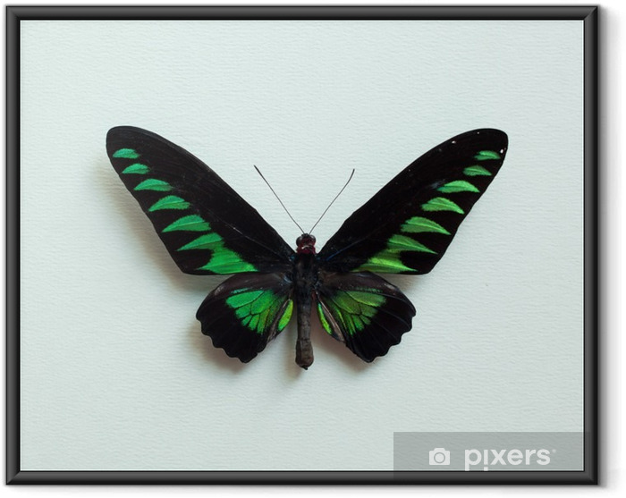 Ingelijste Poster Tropische vlinder - Dieren