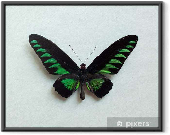 Plakat w ramie Tropical Butterfly - Zwierzęta
