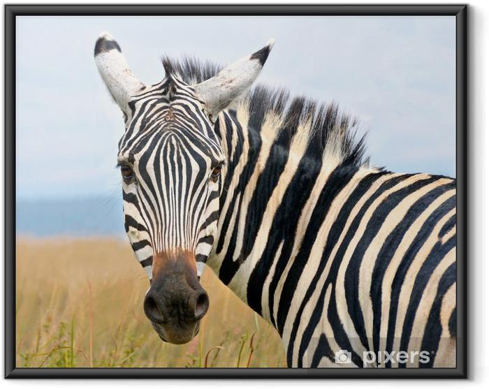 Plakat w ramie Zbliżenie na głowę zebry patrząc ciekawie - Zwierzęta