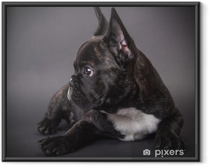 Plakat w ramie Buldog francuski puppy leżącego - Buldogi francuskie