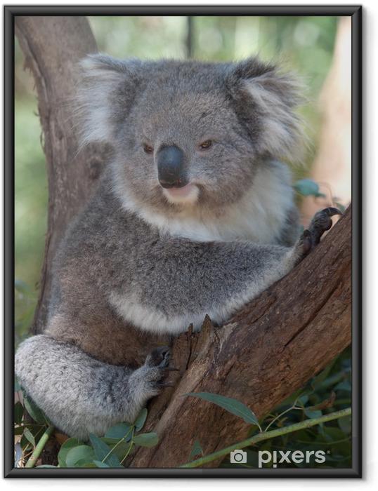 Ingelijste Poster Koala 01 - Oceanië