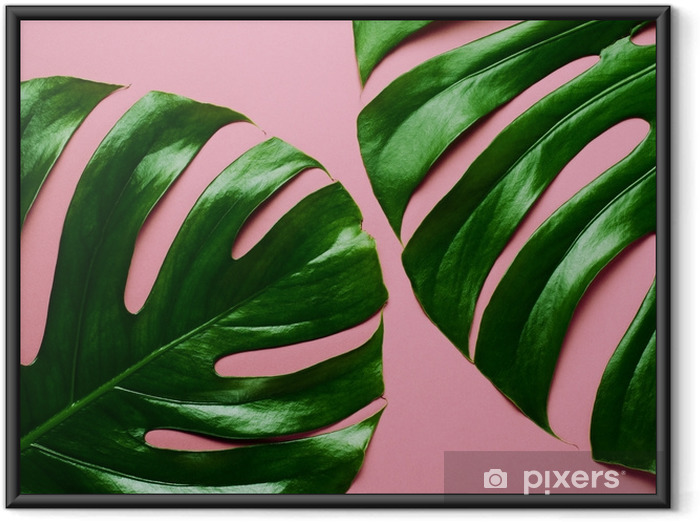 Big real monstera leaves on a pink background. Tropical theme background in a trendy minimalist flat lay style. Framed Poster - Hobbies and Leisure