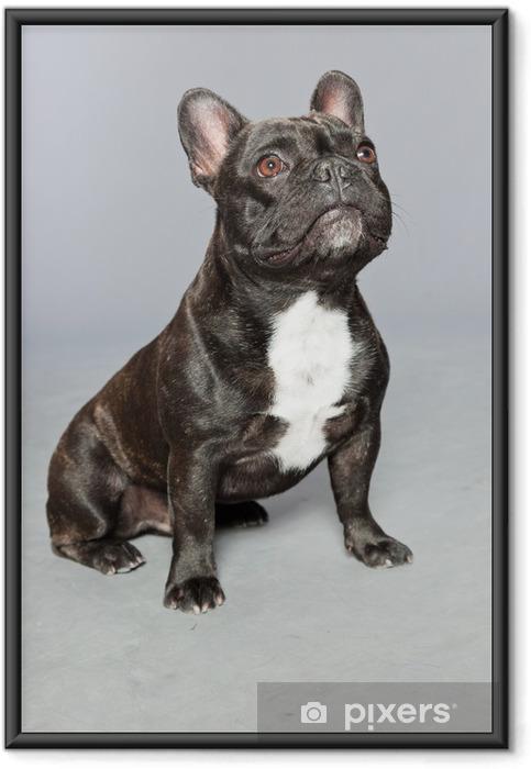 Plakat w ramie Czarny buldog francuski. Biały chest. Funny dog. - Buldogi francuskie