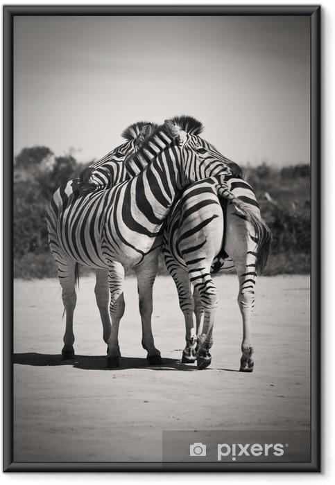Plakát v rámu Zebra láska - Zebry