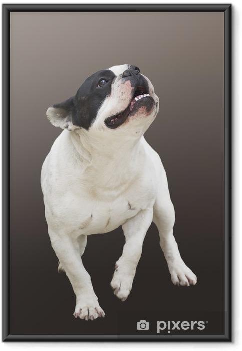 Plakat w ramie Prowadzenie psa rasy Buldog francuski na brązowym tle - Buldogi francuskie