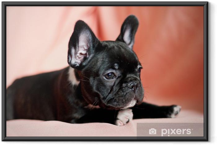 Plakat w ramie Buldog francuski puppy w studio - Buldogi francuskie