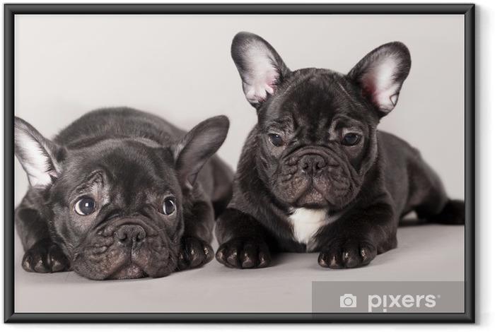 Plakat w ramie Buldogi francuskie, puppy - Buldogi francuskie