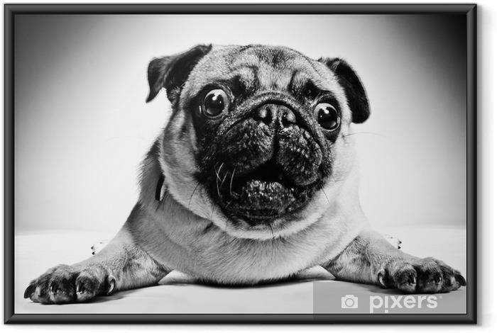 Ingelijste Poster Zwart-wit portret van een pug - Mopshonden