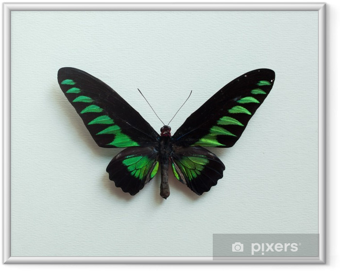 Plakát v rámu Tropický motýl - Zvířata