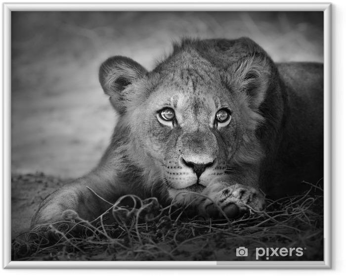 Póster Enmarcado Retrato de joven león -