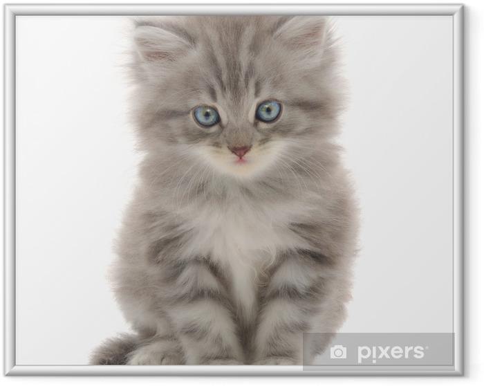 Ingelijste Poster Katje op een witte achtergrond - Zoogdieren