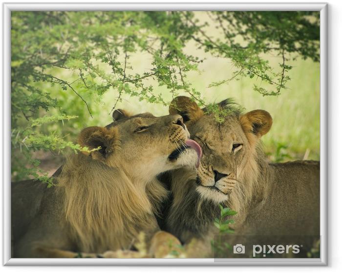 Plakat w ramie Kochać para Lew i lwica - Tematy