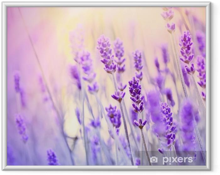 Póster Enmarcado Lavender iluminado por los rayos del sol - Hierbas