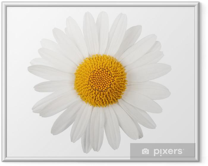 Póster Enmarcado Margarita blanca - Flores
