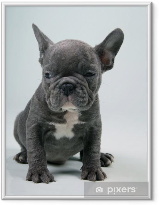 Plakat w ramie French Bulldog Puppy blue - Buldogi francuskie