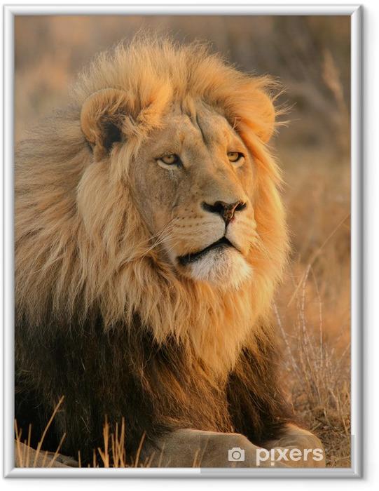 Plakat w ramie Duży samiec lwa - Tematy