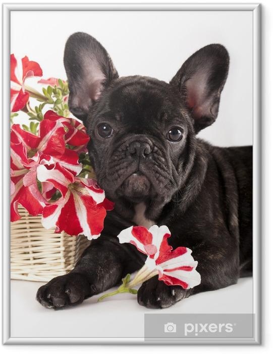 Plakat w ramie Buldog francuski i bukiet kwiatów - Buldogi francuskie
