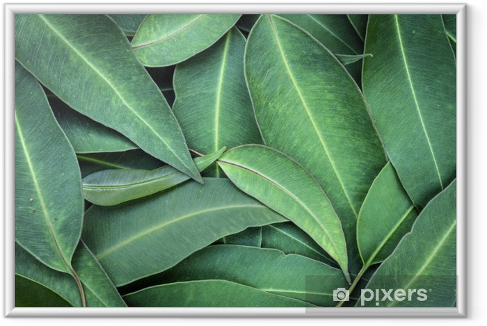 Plakat w ramie Liście eukaliptusa - Rośliny i kwiaty