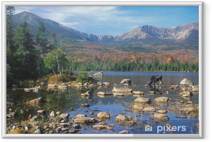 Plakat w ramie Bull Moose karmienia w stawie poniżej: Mount Katahdin, Maine - Natura i dzicz