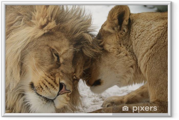 Póster Enmarcado Secreto de amor. León y lionness (Panthera leo) - Leones