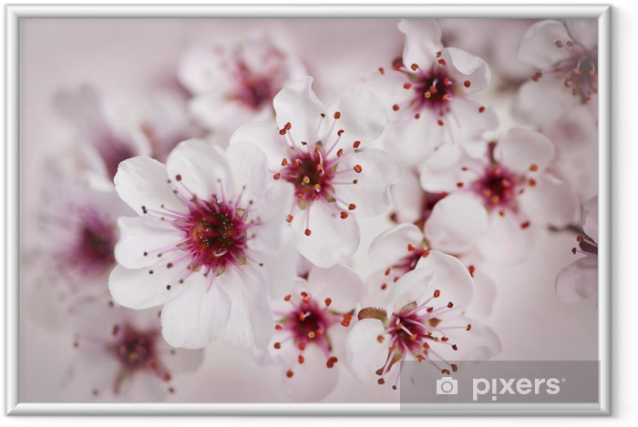 Póster Enmarcado Cherry blossoms - Temas