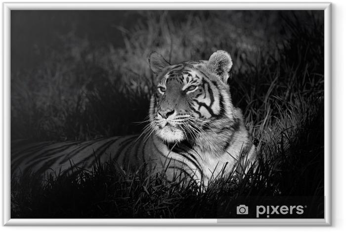 Plakat w ramie Monochromatyczny obraz Tygrys bengalski -